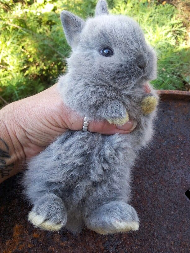 Grey Bunnies For Sale : bunnies, Netherland, Dwarf, Bunnies, Great, Bunny