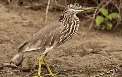 Indian heron hindi, bhura bagula, andha bagula, bagule ki jankari, essay on a local bird, essay on pond birds hindi, bagule par nibandh, list of indian herons,