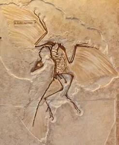 आपने कई बार सुना होगा कि पक्षी डायनासोर से संबंधित है, पर वास्तव में ऐसा नहीं है पक्षी डायनासोरों से संबंधित नहीं है बल्कि पक्षी डायनासोर ही हैं! आज से 6 करोड़ 50 लाख साल पहले पृथ्वी पर एक महाविनाश हुआ था जिसमें कि सारे डायनासोर मारे गए परंतु डायनासोरों की उड़ने वाली प्रजातियों में से कुछ प्रजातियां बाच गई इन्हीं प्रजातियों से आगे चलकर पक्षियों का विकास हुआ. पृथ्वी पर तरह-तरह के डायनासोर पाए जाते थे आज से 23 करोड़ साल पहले डायनासोरों का उदय हुआ करोड़ों सालों तक डायनासोर पृथ्वी के प्रमुख जीव बने रहे है लेकिन एक उल्का पिंड के पृथ्वी से आकर टकराने की वजह से सारे डायनासोर नष्ट हो गए.