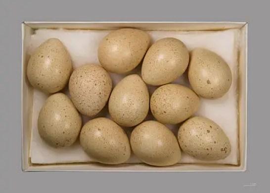 Alectoris chukar hindi, chakor hindi, chakor kyo rota he, chakor chand ko kyo dekhta he, chakor aur chand hindi, chakor ki jankari, chakor ka prem hindi, chakor eggs
