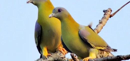 State bird of maharashtra hindi, essay on state bird of maharashtra hindi, hariyal pakshi, ellow footed green pigeon in hindi, hariyal ke ande, maharashtra ka rajy pakshi,