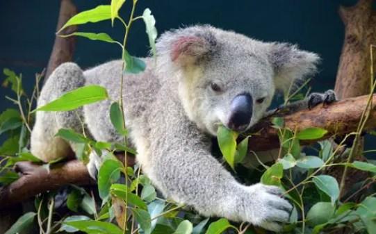कोआला बीयर, Koala Bear in Hindi,