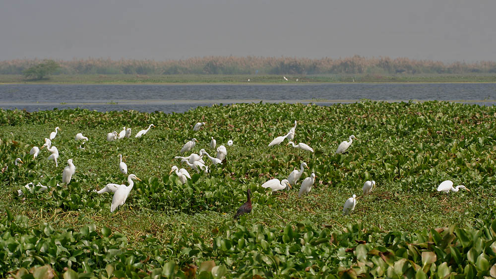 Kolleru Bird Sanctuary hindi, kolleru hindi, kolamaru bird sanctuary, andhra pradesh bird sanctuary hindi, essay on bird sanctuary, pakshi abhyaranny,