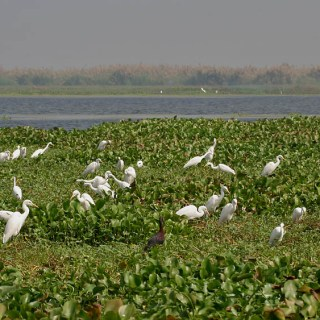 Kolleru Bird Sanctuary hindi, kolleru hindi, kolamaru bird sanctuary, andhra pradesh bird sanctuary hindi, essay on bird sanctuary, pakshi abhyaranny,