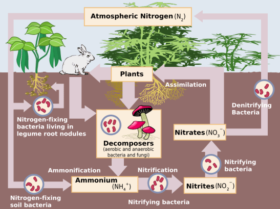 nitrogen chakra bacteria in hindi