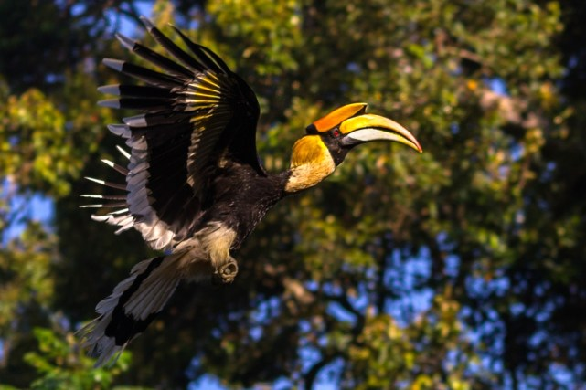 Great Indian Hornbill in hindi, Great Indian Hornbill ki jankari, essay on Great Indian Hornbill, indian hornbill in hindi, hornbill pakshi, bhartiy hornbill pakshi,