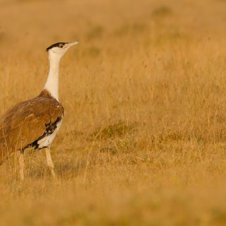 Great Indian Bustard in hindi, essay on Great Indian Bustard hindi, indian bustard hindi, son chirreya, gonava pakshi, गोडावण, सोहन चिड़िया, हुकना, गुरायिन, सोन चिरैया, conservation of great indian bustard hindi, how many great indian bustard hindi