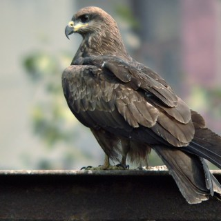 Black kite in hindi, kali cheel me anukulan, kali cheel, black kite bird in hindi, essay on adaptation, anukulan par nibandh, kon sa pakshi manushy ke,