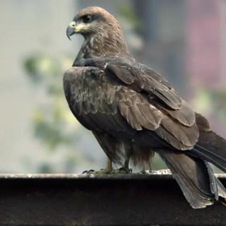 Black kite in hindi, kali cheel me anukulan, kali cheel, black kite bird in hindi, essay on adaptation, anukulan par nibandh, kon sa pakshi manushy ke,
