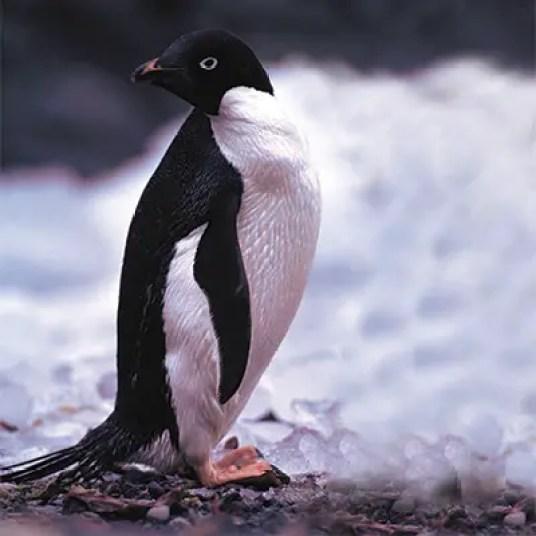 penguin adaptation hindi, penguin me anukulan, anukulan, antarctic anukulan, penguin habitat hindi, habitat adaptation, penguin adaptation, penguin in hindi, penguin ki jankari, penguin facts, penguin pakshi