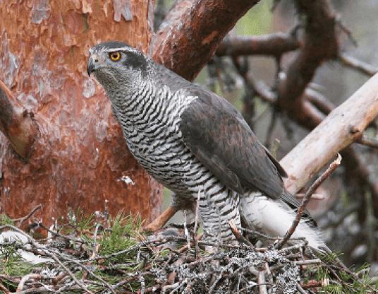 पंजाब का राज्य पक्षी, state bird of punjab, punjab ka rajy pakshi,  Northern goshawk in hindi, Northern goshawk,