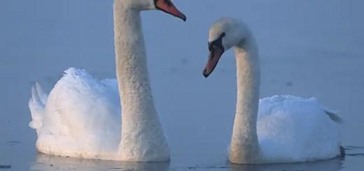 swan in hindi