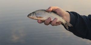 Choisir son hameçon pour la pêche du gardon