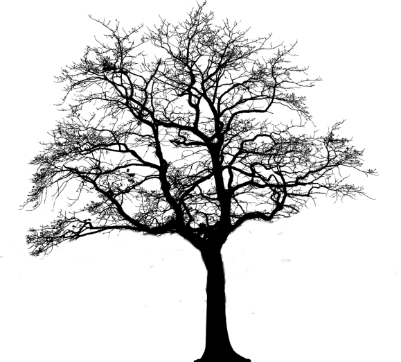 silhouette of a tree which has had its crown lifted