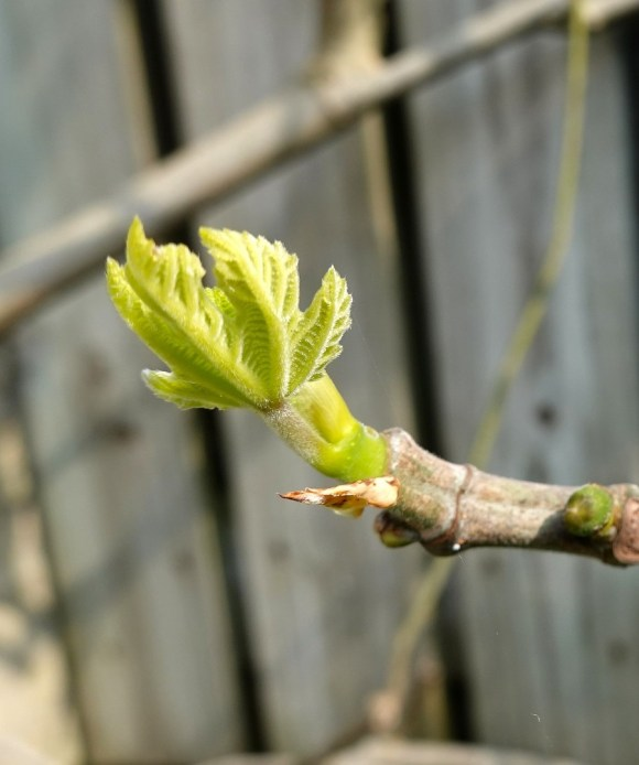 close up of young fig tree branch following formative pruning