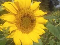 Cink_Peax2_Sonnenblume