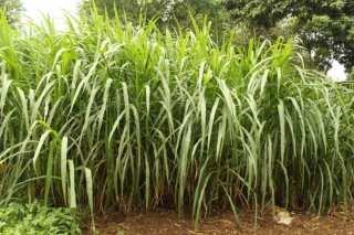 Grasscutter farming a manual for beginners in Nigeria: elephant grass for grasscutters