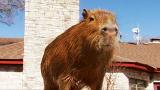 Most Outrageous: Caplin the Capybara