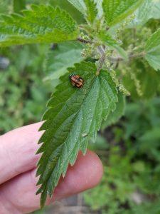 Ladybird larvae on nettle leaf