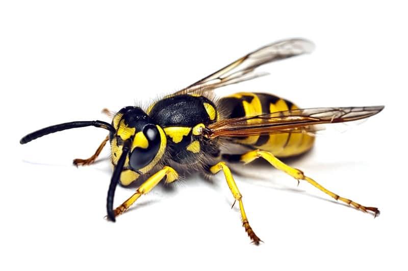 Wespen verwijderen, Last van wespenplaag, Wespen bestrijding