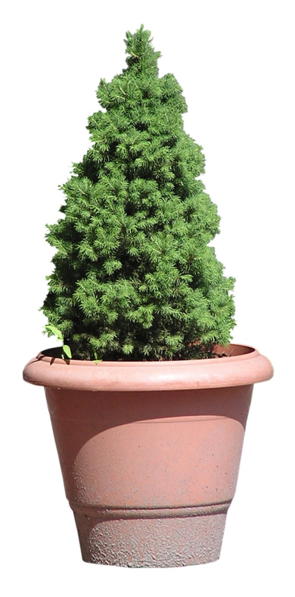A Horticulturist on Caring for a Live Christmas Tree Networx