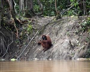 Orang-Utan sitzt auf einer steilen Flußböschung auf Borneo