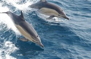 Gemeine Delfine beim Wellenreiten