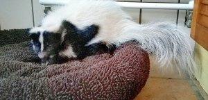 Ein Stinktier liegt auf einer gepolsterten Unterlage