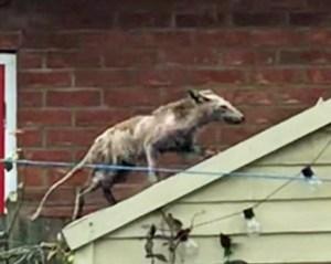 Dunkles, fast nacktes Tier steigt auf eine Gartenlaube