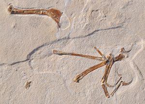 Übersichtsfoto des Holotyps von Alcmonavis poeschli