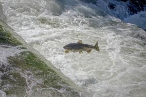 Ein großer Fisch springt über ein Wehr mit schäumendem Wasser