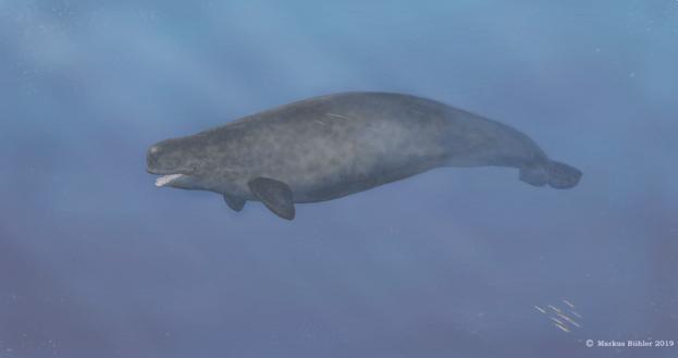 Grauer Zahnwal mit kräftigem Körperbau, großen Flippern und Narwalfluke schwimmt durchs Wasser