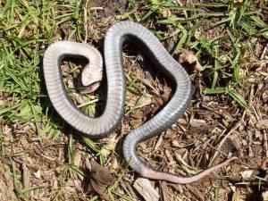 Schlange liegt auf dem Rücke im Gras