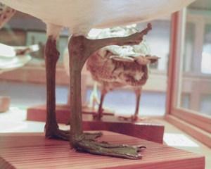 Zweifüssiges Bein der Möwe von der Seite