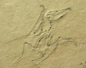 Fossil eines Flugsaurierbabies auf gelblichem Stein