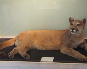 Puma Felicity im Museum Inverness