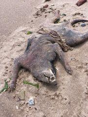 Unbekannter Kadaver liegt am Strand
