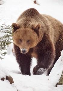 Ein Braunbär im Schnee