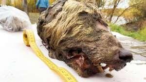 Der kaum erkennbare Kopf eines Wolfes aus dem Permafrost