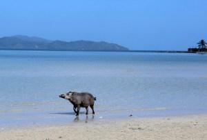 Graues Schwein am Strand einer tropischen Insel
