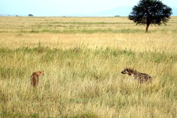 Ein Gepard faucht eine Hyäne an, Szene im hohen Gras