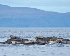 Mehrere Seehunde ruhen auf einem kleinen Felsen