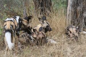 Gruppe von afrikanischen Wildhunden im trockenen Gras