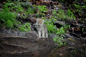 Graues Wolfsbaby im Gras