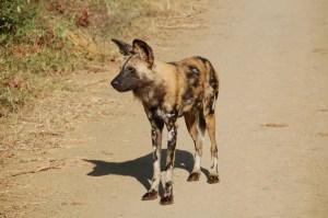 Einzelner Wildhund auf einer Staubpiste