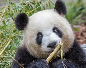 Pandabär frisst an Bambus
