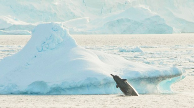 Arnox' Schnabelwal breacht vor einem Eisberg nahe der Eiskante