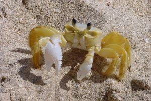 Sandfarbene Krabbe mit weißen Scheren im Sand
