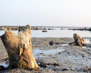 Schlammiges Ufer mit abgestorbenen Baumstümpfen