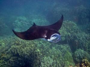Ein schwarzer Mantarochen schwimmt mit offenem Maul über ein Riff